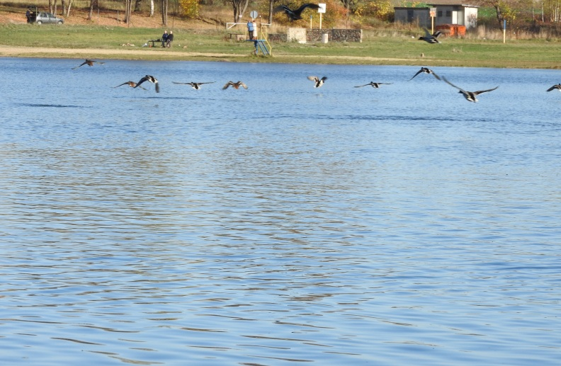 wzbijające się kaczki