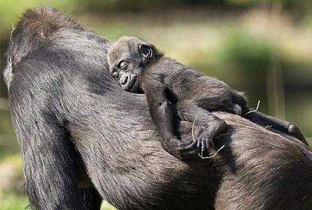 funny-gorilla-baby-sleeping